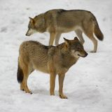 Wolf from Bialowieza / Poland. Couple wolfs standing on snow (national park - Bialowieza / Poland Royalty Free Stock Image