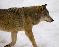 Wolf from Bialowieza / Poland Royalty Free Stock Images