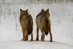 Wolf from Bialowieza / Poland. Couple wolfs standing on snow (national park - Bialowieza / Poland Stock Images