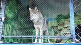 Wolf bij de dierentuin stock footage