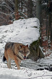 Wolf in Black forest Germany Royalty Free Stock Photography