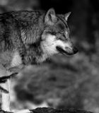 Wolf black &white. Wolf in forest Royalty Free Stock Images