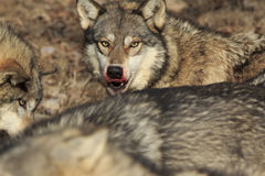 Wolf with bloody face from deer kill. A big timber wolf with bloody face from fresh wolf kill Royalty Free Stock Photo