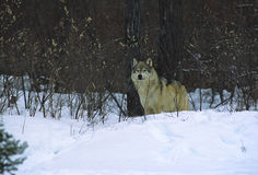 Wolf in Brush. A big gray wolf peers from the brush Stock Photos