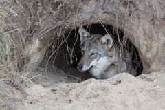 Wolf in a burrow. A wolf in a burrow stock photo