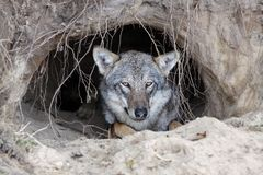 Wolf in a burrow. Portrait of wolf in a burrow royalty free stock photos