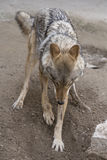 Wolf burrowing ground Stock Image