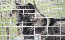 Wolf in a cage Stock Photos