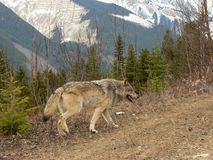 Wolf in Canadian Rocky Mountains. Male Timber Wolf on logging road in Rocky Mountains near Golden, British Columbia, Canada Royalty Free Stock Photo