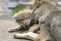 Wolf, canis lupus. Resting calmly Stock Images