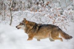 Wolf Canis Lupus Imagenes de archivo