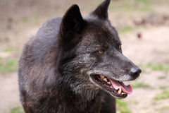 Wolf (canis Lupus) Royalty Free Stock Photos