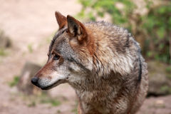 Wolf (Canis Lupus) Stockfotografie