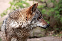 Wolf (canis lupus) Stock Photos