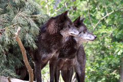 Wolf (canis lupus) Royalty Free Stock Image
