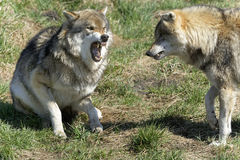Wolf, canis lupus. Angry wolf, canis lupus portrait Stock Image