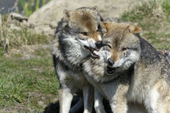 Wolf, canis lupus. Angry wolf, canis lupus bites Royalty Free Stock Photography