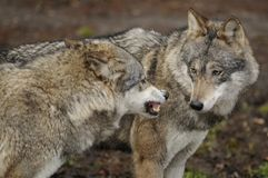 Wolf ( Canis lupus ) Stock Image