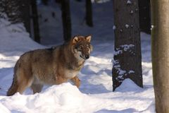 Wolf (Canis lupus) Stock Photography