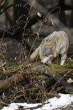 Wolf ( Canis lupus ) Stock Images
