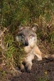 Wolf Canis Lupus stock photos