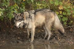 Wolf canis lupus Stock Image