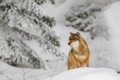 Wolf Canis Lupus photographie stock