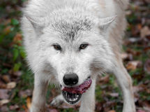 Wolf (Canis lupus) Enjoys Meat Snack Stock Image