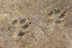 Wolf Canis lupus foot prints in soft mud. Wolf, Canis lupus, paw foot prints track in soft mud Royalty Free Stock Photography