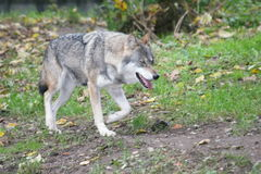 Wolf (Canis lupus) Stock Images