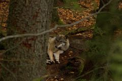 Wolf lying among trees in the wild. stock images