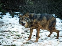 Wolf Canis lupus signatus growling Royalty Free Stock Images