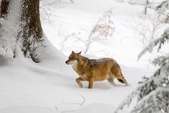 Wolf Canis lupus stock photos