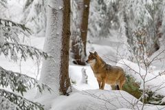 Wolf Canis lupus Stock Photo