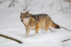 Wolf Canis lupus royalty free stock photos