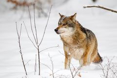 Wolf Canis lupus Stock Photography