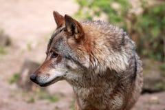 Wolf (caniswolfszweer) Stock Fotografie