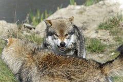 Wolf, caniswolfszweer Stock Foto