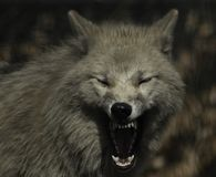 Wolf canus lupus grey and white hudson bay. royalty free stock photos