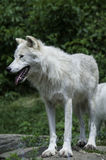 Wolf in captivity Stock Images