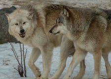Wolf Center international en Ely, Minnesota loge plusieurs G images libres de droits