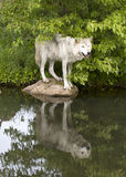 Wolf with Clear Reflection in a Lake Royalty Free Stock Photography