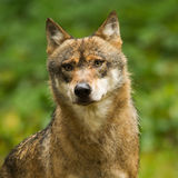 Wolf close-up. In a forrest in germany Royalty Free Stock Photos