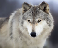 Wolf. Close up image of head and shoulders of a Timber Wolf, or Gray Wolf. Shallow depth of field Royalty Free Stock Image