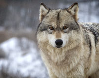 Wolf. Close up image of head and shoulders of a Timber Wolf, or Gray Wolf.  Shallow depth of field Stock Photo
