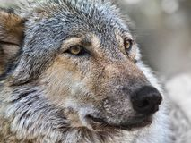 Wolf close up photo royalty free stock photography