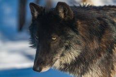 Wolf Close Up Photo noir image libre de droits