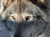Wolf close up Royalty Free Stock Images