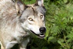 Wolf close up Stock Photos