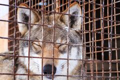 Wolf with closed eyes behind grid in cage on winter cold day stock photos